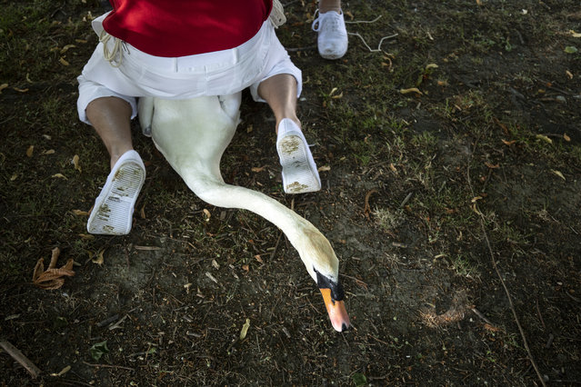 A swan has its leg tagged on the second day of the annual Swan Upping census on July 16, 2019 on the River Thames, South West London. The historic Swan Upping ceremony dates back to the 12th century, when the Crown claimed ownership of all Mute Swans and they were eaten at banquets and feasts. The Sovereign's Swan Marker, David Barber, counts the number of young cygnets on the river each year and ensures that the swan population is maintained. The swans and young cygnets are also assessed for any signs of injury or disease. (Photo by Dan Kitwood/Getty Images)