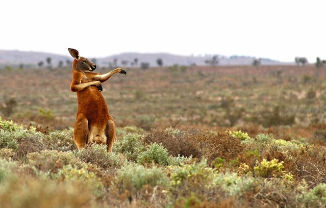 "A red kangaroo starts his day with some martial arts in Andrey Giljov's ""Kung Fu Training – Australian Style"" taken on August 16, 2013 in Fowlers Gap, Australia. (Photo by Andrey Giljov/CWPA/Barcroft Images)"