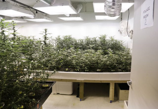 Marijuana plants are pictured in a grow room during a tour at the Sea of Green Farms in Seattle, Washington June 30, 2014. (Photo by Jason Redmond/Reuters)