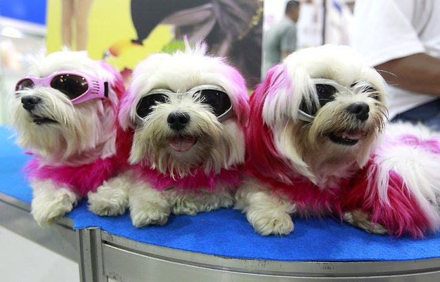 Dogs with sunglasses rest on a table at the 2014 Taipei Pet Show at Nangang Exhibition Hall in Taipei July 11, 2014. The show runs from July 11 to 14. (Photo by Pichi Chuang/Reuters)