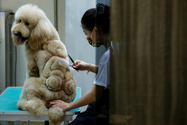 An employee trims a teddy bear into the fur of a dog at a pet shop, in Tainan, Taiwan June 19, 2016. (Photo by Tyrone Siu/Reuters)