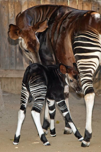 In a photo provided by the San Diego Zoo Safari Park, Okapi mother Ayana watches over her 2-week-old calf as he takes a break from nursing at the San Diego Zoo Safari Park in Escondido, Calif., Tuesday, July 22, 2014. The male calf, named Jackson, was born on July 6 and is spending time with his mother in the okapi barn at the Safari Park as he gets to know his surroundings. (Photo by Tammy Spratt/AP Photo, San Diego Zoo Safari Park)