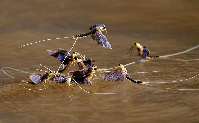 Long-tailed mayflies