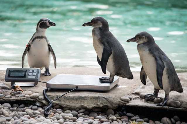 A Humboldt penguin is weighed on scales during a photocall at London Zoo on August 24, 2017, to promote the zoo's annual weigh-in event. (Photo by Chris J. Ratcliffe/AFP Photo)