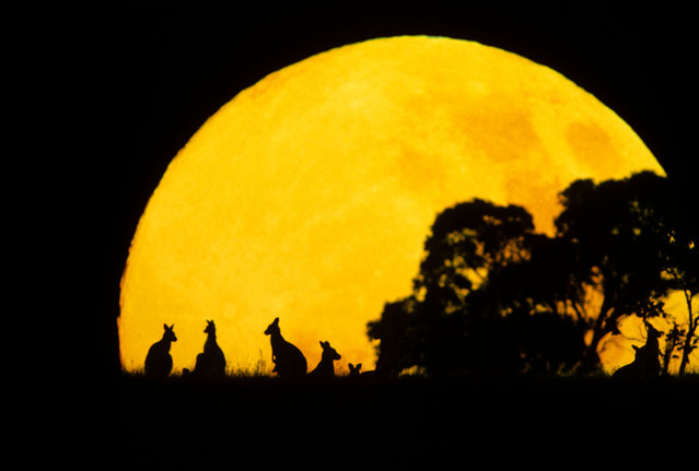 An eastern grey kangaroo silhouetted against setting sun in eastern Australia. (Photo by Jean Paul Ferrero/Caters News/Ardea)