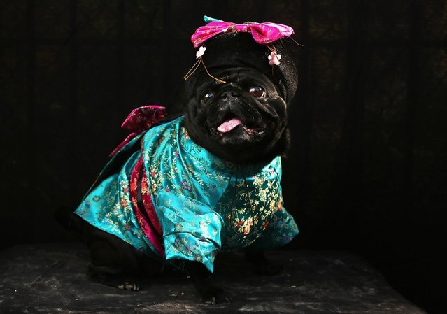 Penny, a Pug, poses as a Geisha at the Tompkins Square Halloween Dog Parade on October 20, 2012 in New York City