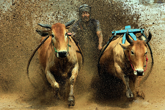 A jockey spurs cows during the traditional Pacu Jawi cow race in Tanah Datar of West Sumatra, Indonesia on August 20, 2016. (Photo by Amanda/ZUMA Press/Splash News)