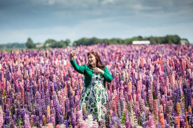 A woman takes a selfie in a field of Lupinus-plants in a remote area on the island of Lolland in Denmark, June 8 2020. A field of lupinus-plants has caught the attention of the Danes with more than 1.000 daily cars passing by or stopping near the colorfull field, according to local media. (Photo by Mads Claus Rasmussen/Ritzau Scanpix/AFP Photo)