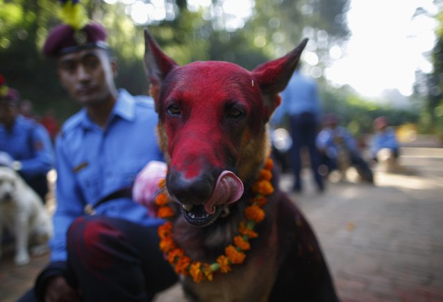 A police dog licks its face after receiving food during the dog festival, as part of celebrations of Tihar at Nepal Police Academy in Kathmandu October 22, 2014. Hindus all over Nepal are celebrating the Tihar festival, also called Diwali, during which they worship cows, which are considered a maternal figure, and other animals. (Photo by Navesh Chitrakar/Reuters)