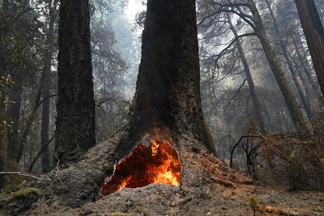 Fire burns in the hollow of an old-growth redwood tree in Big Basin Redwoods State Park, Calif., Monday, August 24, 2020. The CZU Lightning Complex wildfire tore through the park but most of the redwoods, some as old as 2,000 years, were still standing. (Photo by Marcio Jose Sanchez/AP Photo)