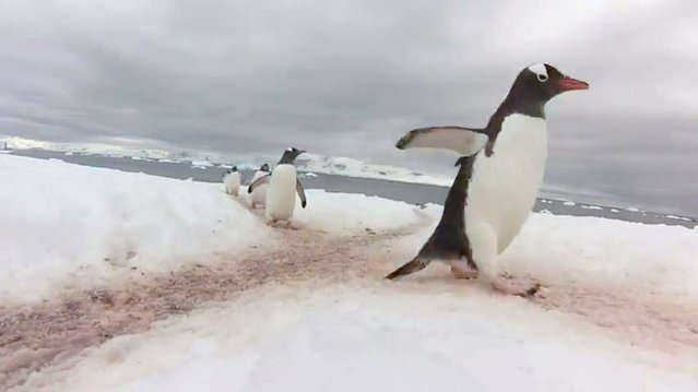 """Penguin Highway"" in Antarctica by Melissa Brennan"