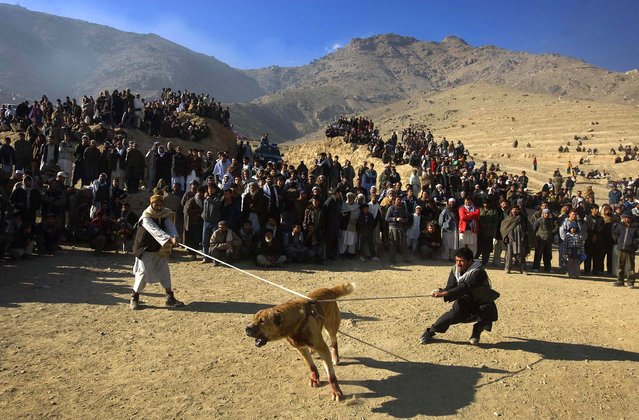 Afghan men try to restrain a dog moments before a high stakes dog-fighting match in Kabul. Outlawed under Taliban rule and now legal and very popular in Afghanistan, every Friday from November to March thousands of Afghans gather on the western outskirts of Kabul to watch the dog fighting matches. Despite being one of the poorest countries in the world, in Afghanistan a good fighting dog can be worth several thousand dollars. (Photo by David Furst/AFP Photo)