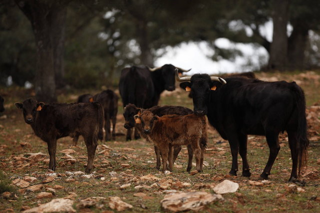 "Calves and cows are seen in a ""dehesa"" (wooded pastureland) at Reservatauro Ronda cattle ranch in Ronda, near Malaga February 12, 2013. Spain's parliament voted on Tuesday to consider protecting bullfighting as a national pastime, angering animal rights campaigners and politicians in two regions where the sport is banned. (Photo by Jon Nazca/Reuters)"