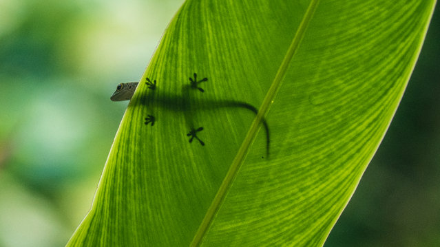 """""""I was lucky to spot this day gecko pausing on a leaf while I was in Mahé in the Seychelles. The sunlight clearly defines the iconic shape of the feet through the surface"""". (Photo by Geraint Michael/The Guardian)"""