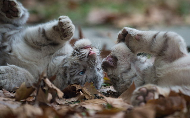 Two Siberian  Tiger cubs play in their enclosure in the Shanghai Zoo on November 18, 2014. (Photo by Johannes Eisele/AFP Photo)