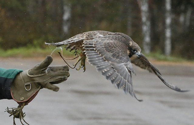 Daria Zhirnova, an employee of the ornithological department of the Royev Ruchey Zoo, releases Sapa, young female Asian peregrine falcon, also known as Sapsan in Russia during a training session outside the Siberian city of Krasnoyarsk, Russia, October 21, 2015. (Photo by Ilya Naymushin/Reuters)