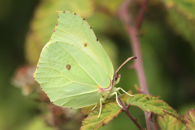 "A handout picture released on September 23, 2020 by Andrew Bladon of University of Cambridge shows a Brimstone Gonepteryx rhamni butterfly on July 29, 2020. Key to butterfly climate survival may be in the wings. Whether a butterfly's wings absorb or reflect heat from the sun could be a matter of life and death in a warming world, according to British research published on September 24, 2020 calling for gardens, parks and farms to host shady, cooling-off spots. While all butterflies are ectotherms – they cannot generate their own body heat – their ability to thermoregulate varies significantly between species, researchers said. The study found that those that struggle to moderate their body temperatures often rely on being able to escape the full heat of the sun in shady ""microclimates"" to survive. (Photo by Andrew BLADON/University of Cambridge/AFP Photo)"
