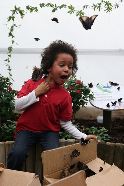 """A boy reacts as butterflies are released into the """"Sensational Butterflies"""" exhibition at the Natural History Museum on March 25, 2013 in London, England. The live, tropical butterfly house will be stationed on the Natural History Museum's east lawn from March 29, 2013 until September 15, 2013. (Photo by Oli Scarff)"""