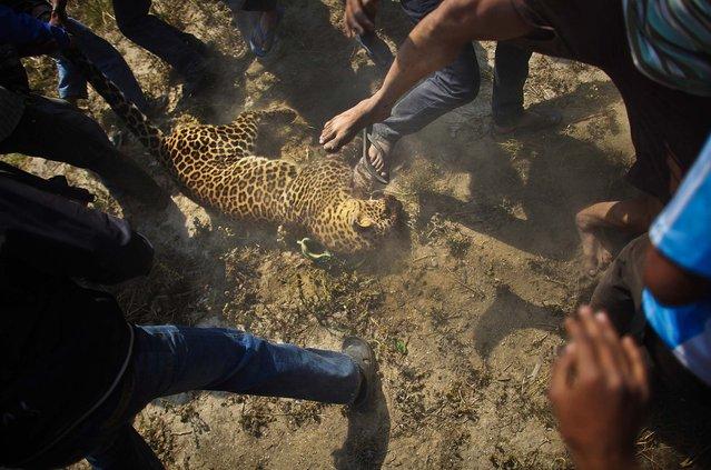 People stomp on the dead leopard after it was captured in Katmandu, Nepal, on April 10, 2013. (Photo by Niranjan Shrestha)