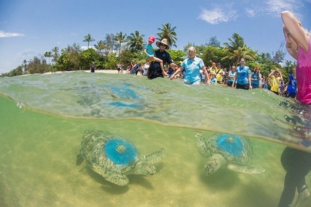 A handout picture shows two green turtles released into the ocean after being cared since 2011, at the Cairns Turtle Rehabilitation Centre (CTRC) on Fitzroy Island, Queensland, Australia, 06 December 2014. Researchers will track the animals' movements with GPS devices. (Photo by Christian Miller/EPA)