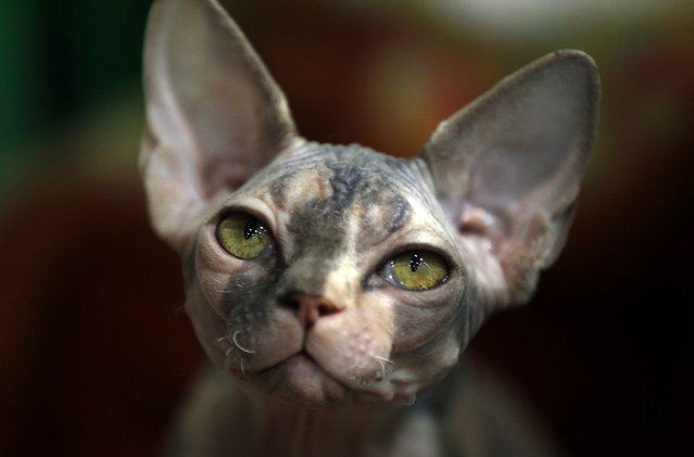 """The Peterbald cat """"Barcelona"""" is displayed at the World Cat Exhibition in Dortmund April, 21, 2013. More than 400 breeds of cats are being presented at the World Cat Federation two-day show. (Photo by Ina Fassbender/Reuters)"""