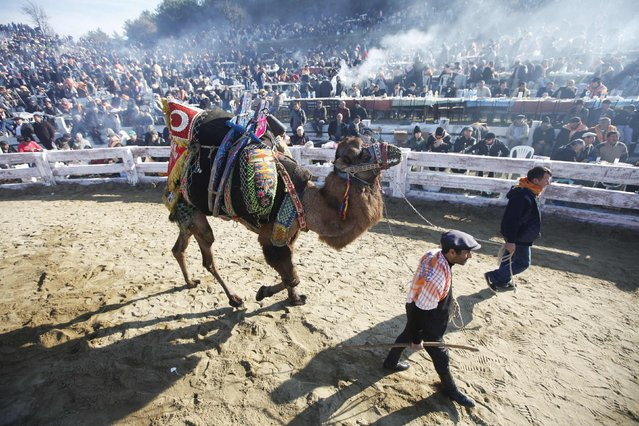 A wrestling camel walks around the Pamucak arena during the Selcuk-Efes Camel Wrestling Festival in the town of Selcuk, near the western Turkish coastal city of Izmir January 18, 2015. (Photo by Osman Orsal/Reuters)
