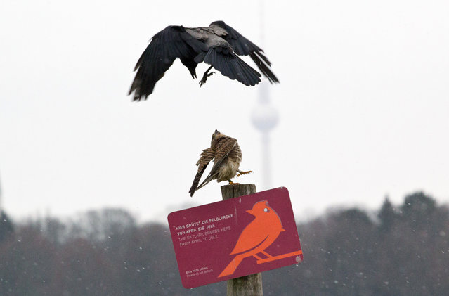 A kestrel is attacked by a hooded crow on Tempelhofer Feld, part of the former Tempelhof airport in Berlin on January 15, 2021. (Photo by Hauke Schroder/dpa)