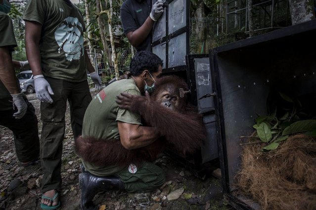 A worker carries a Sumatran orangutan (Pongo abelii) to put into a cage as being prepared to be released into the wild at Sumatran Orangutan Conservation Programme's rehabilitation center on November 14, 2016 in Kuta Mbelin, North Sumatra, Indonesia. (Photo by Ulet Ifansasti/Getty Images)