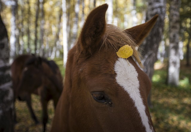 A leaf falls onto a horse's head during a sunny autumn day in a forest outside Almaty, Kazakhstan, October 2, 2015. (Photo by Shamil Zhumatov/Reuters)