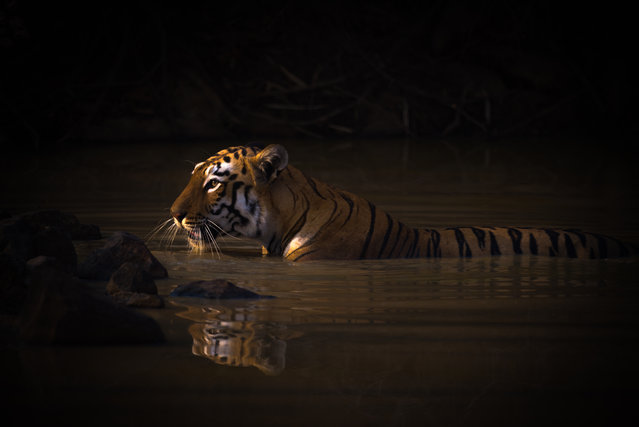 Bath Time. Bengal tigress. Tadoba Andhari Tiger Reserve, India. Gold prize in animal portraits. (Photo by Nick Dale/World Nature Photography Awards)