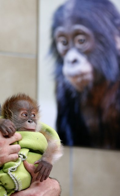 Three week old female orangutan baby Rieke looks to a photograph during a presentation to the media at the Zoo in Berlin February 6, 2015. (Photo by Fabrizio Bensch/Reuters)