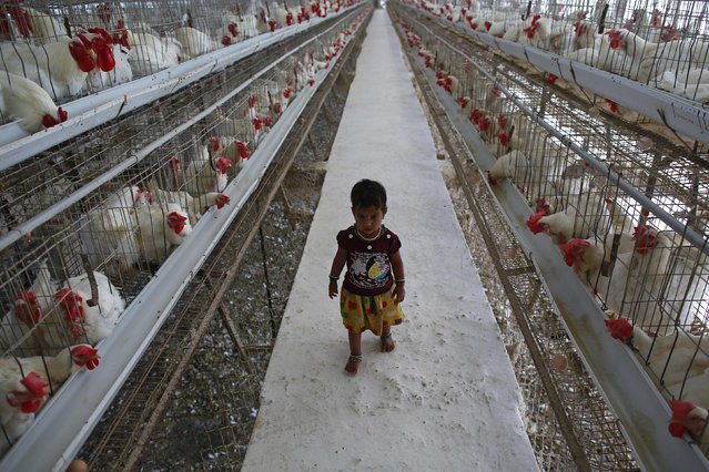 A girl walks on a pathway between cages of chickens at an hatchery in Mangaon, south of Mumbai February 2, 2015. Indian corn producers, after scoring virtually no major export deal for months, are counting on local chicken farms to absorb millions of tonnes of the grain as poultry output heads for yet another record year. (Photo by Danish Siddiqui/Reuters)