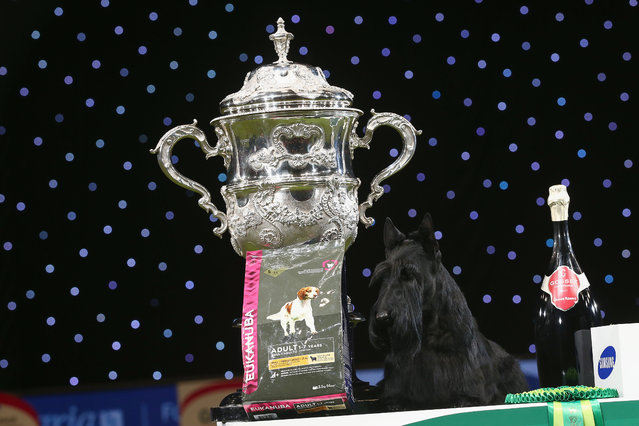 Knopa the Scottish Terrier celebrates winning the Best in Show category of Crufts 2015 on the fourth and final day of Crufts dog show at the National Exhibition Centre on March 8, 2015 in Birmingham, England. First held in 1891, Crufts is said to be the largest show of its kind in the world. The annual four-day event, features thousands of dogs, with competitors travelling from countries across the globe to take part and vie for the coveted title of 'Best in Show'.  (Carl Court/Getty Images)