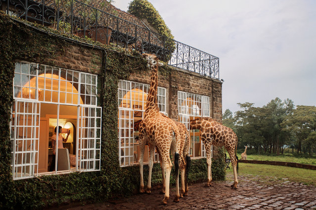 At Giraffe Manor, the animals can wander round as they please. (Photo by Klaus Thymann)