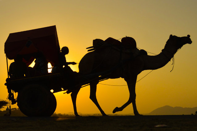 An Indian man rides on a camel cart during at the Pushkar Camel Fair in Pushkar, in the western state of Rajasthan on November 12, 2018. Thousands of livestock traders from the region come to the traditional camel fair where livestock, mainly camels, are traded. The annual five-day camel and livestock fair is one of the world's largest camel fairs. (Photo by Shaukat Ahmed/AFP Photo)