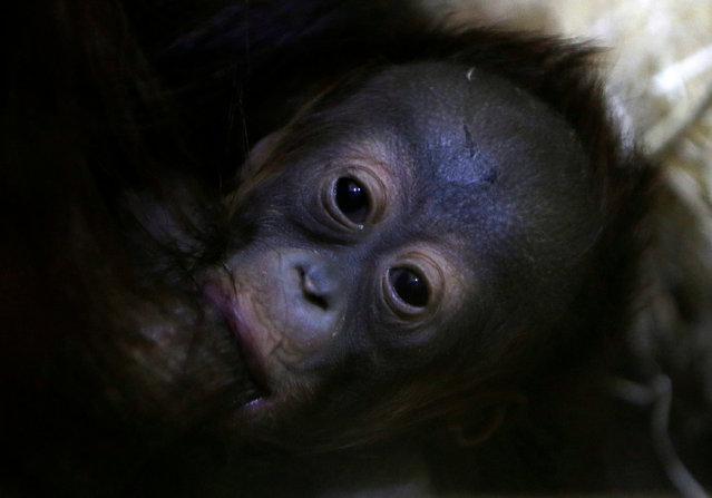 Nuninka, Bornean orangutan (Pongo pygmaeus), feeds her newborn baby in its' enclosure at Usti nad Labem Zoo, Usti nad Labem, Czech Republic January 3, 2017. (Photo by David W. Cerny/Reuters)