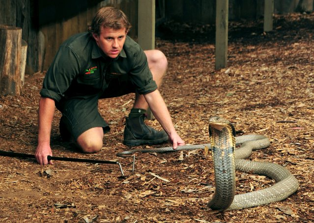 A handout picture made available by the Australian Reptile Park on 03 April 2015 shows King Cobra Raja being approached by an animal keeper before being milked for venom at the Australian Reptile Park in Somersby, on the New South Wales' Central Coast, Australia, 02 April 2015. Enough to fill a shot glass, close to 500 milligrams of venom was collected from the eight kilogram snake. (Photo by Greg Marsh/EPA/Australian Reptile Park)