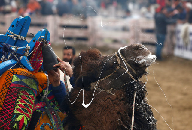A wrestling camel is pictured after a fight at the Pamucak arena during the annual Selcuk-Efes Camel Wrestling Festival in the Aegean town of Selcuk, near Izmir, Turkey, January 15, 2017. (Photo by Murad Sezer/Reuters)