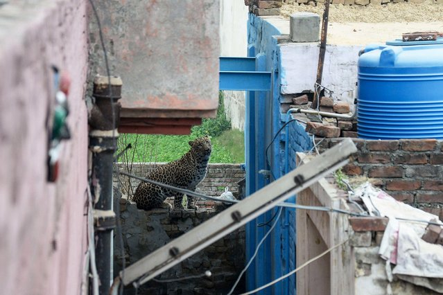 A leopard that has attacked residents is spotted near a house in Lamba Pind area in Jalandhar on January 31, 2019. After a leopard was spotted in a house in Lamba Pind area of Jalandhar city, subsequent attempts to capture it led to the animal attacking at least six people, though none was injured seriously, local media said. (Photo by Shammi Mehra/AFP Photo)