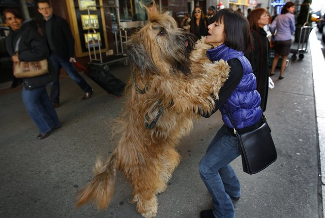 Gilbert, a three-year-old Briard breed, leaps on his owner Delores Dement of Memphis, Tennessee as they arrive to check into the Pennsylvania Hotel in New York City for the 136th Westminster Kennel Club Dog Show in this February 10, 2012 file photo. (Photo by Mike Segar/Reuters)