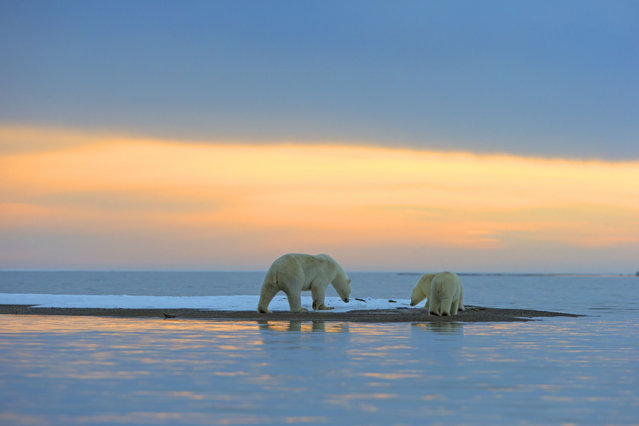 Polar Bear – Mother with cub. (Photo by Sylvain Cordier/Caters News)