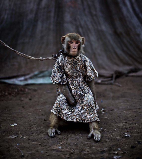 In this Tuesday, February 11, 2014, photo, a trained monkey, that makes a living for her Pakistani owner by performing to a crowd in public and private places, sits held by a leash, in Rawalpindi, Pakistan. For Pakistanis who raise and train the monkeys they are an important source of income in an impoverished country, and they form a strong bond with the animals. The monkeys are usually captured in the wild when they are babies and then trained. A trained monkey can fetch 20,000 to 30,000 rupees ($190 to $285). (Photo by Muhammed Muheisen/Associated Press)
