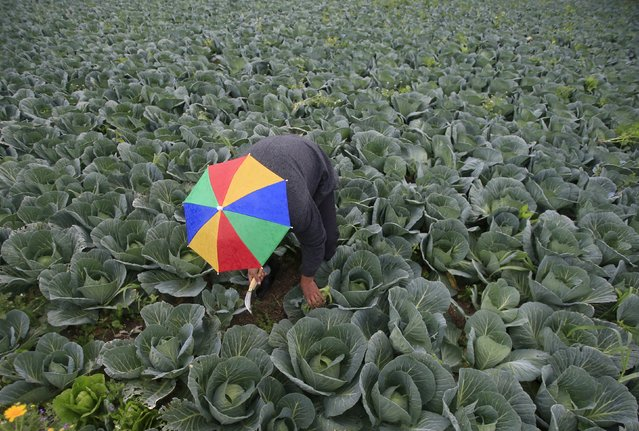 A farmer harvests broccoli in the town of al-Ansariyeh south of Sidon, Lebanon March 15, 2016. (Photo by Ali Hashisho/Reuters)