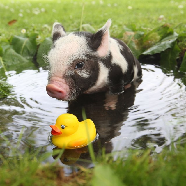 Micro Pig Photos. (Photo by Richard Austin)