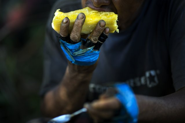 In this June 20, 2015 photo, Roberto Viga, 50, takes a bite from a chunk of cooked yucca, during his break from harvesting coca leaves in Samugari, Peru. Nearly all the coca picked ends up being processed into cocaine, and many worry that the government will finally begin destroying the crop, as it has elsewhere. (Photo by Rodrigo Abd/AP Photo)
