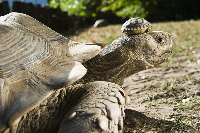 A four-day old African spurred tortoise, Geochelone sulcata, one of eight babies, was place on the head of its mother in their enclosure in Nyiregyhaza Animal Park in Nyiregyhaza, 226 km east of Budapest, Hungary, 27 September 2011. This was the first time that offspring of an African spurred tortoise were born in this zoo. The eight babies hatched after 115 days, they are 5.5 cms long and weigh 25 grams. Spurred tortoise is the largest species of land tortoises in Africa, the weight of an adult animal may reach 80 kgs. (Photo by Attila Balazs/EPA)