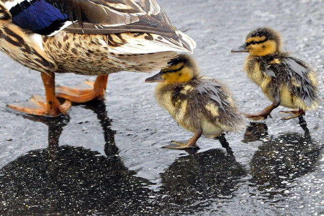A couple of ducklings are out for a stroll through a Chambersburg, Pa., parking lot during the afternoon rain Tuesday, April 29, 2014. A flood watch is in effect for Franklin County, Pa., through Thursday morning. (Photo by Markell DeLoatch/AP Photo/Public Opinion)
