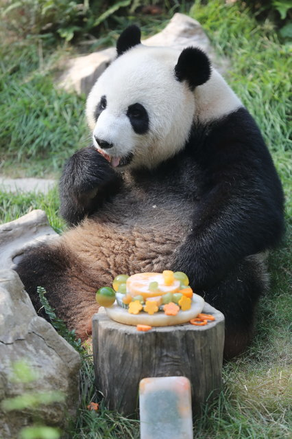Giant panda Xinxin eats her birthday cake at the panda pavilion in Seac Pai Van Park in Macau, China on July 5, 2015. Giant Panda Xinxin celebrated her eighth birthday at the panda pavilion in Seac Pai Van Park in south China's Macau on Sunday. The giant panda pair Kaikai and Xinxin was donated by the Chinese central government as gifts to Macau. (Photo by Imaginechina/Splash News)