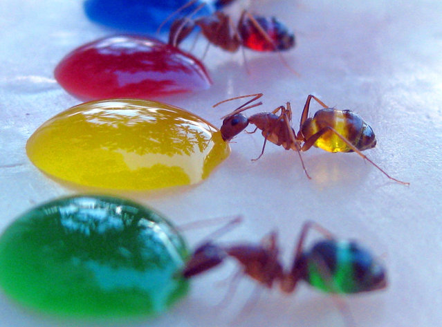 Colored Ants By Mohamed Babu