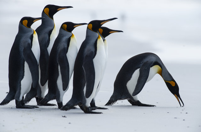 King penguins are seen at Volunteer Point, north of Stanley in the Falkland Islands (Malvinas), a British Overseas Territory in the South Atlantic Ocean, on October 6, 2019. The Falklands has an incredibly rich biodiversity including more than 25 species of whales and dolphins, but it is the guaranteed ability to get up close and personal with penguins that makes it such an enticing destination. There are five penguin species in the archipelago – King, Rockhopper, Gentoo, Magellanic and Macaroni. (Photo by Pablo Porciuncula Brune/AFP Photo)
